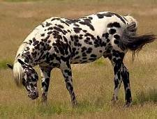 Appaloosa picture