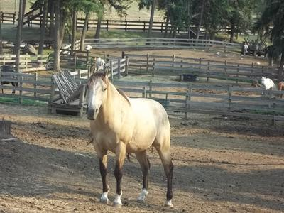 This is Zues. He is an eight year old buckskin.