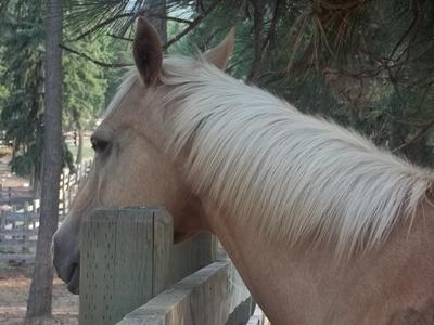 This is Sunny. Don't exactly know how old she is but she is a palomino horse.