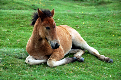 my foal prancer