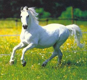 My White horse (gray)