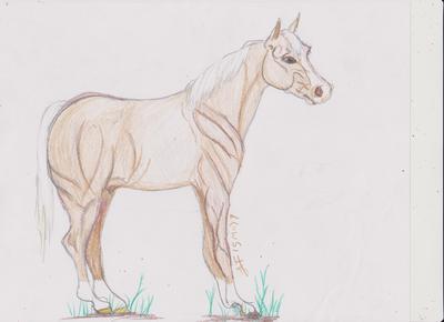 Palomino Stallion / colt