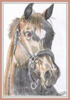 A pencil drawing with color of a bay horse's head with a halter on.
