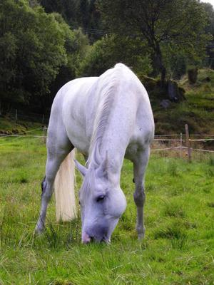The grey mare