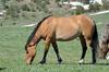 The dun colt