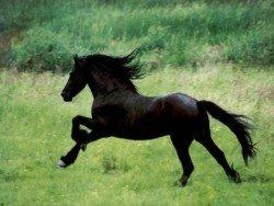 A Fresian galloping