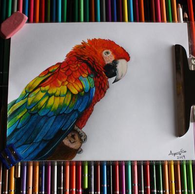 Scarlet macaw 2019